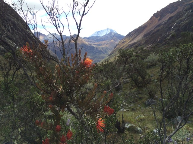 Orange flowers in the Cordillera Blanca, Peru, with Ranrapalca in the background.