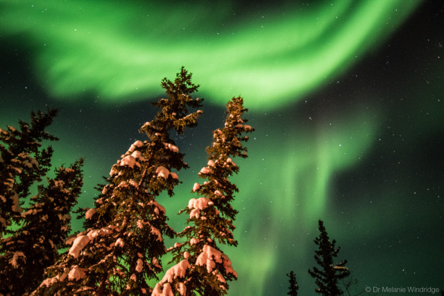 Aurora over snow-covered firs in Arctic Canada.