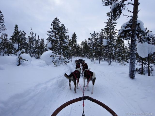 Dog sledding out through the forest from the Icehotel, Sweden.