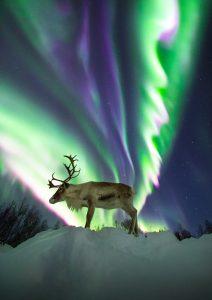 Reindeer aurora northern lights Adrien Mauduit